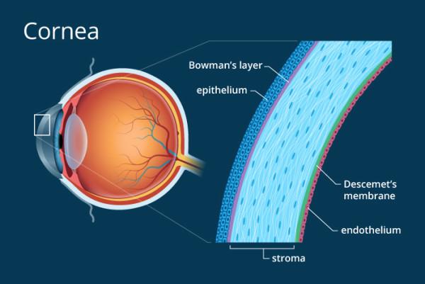 Cornea Eye